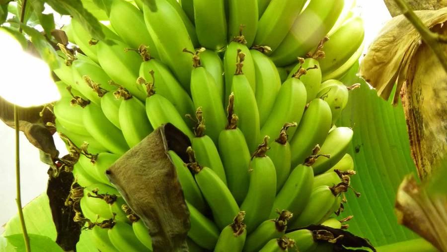 bananas_2015