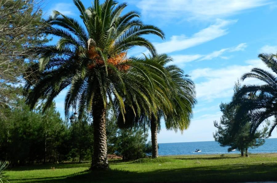 palmi v abhazii