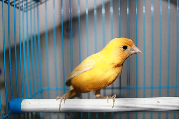 Стоит ли заводить дома певчую птицу