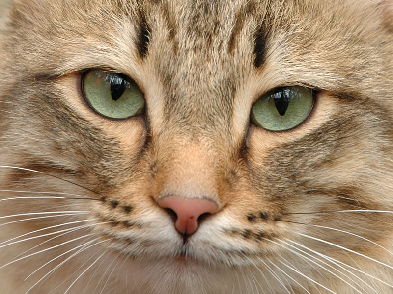 Всё о стерилизации кошек
