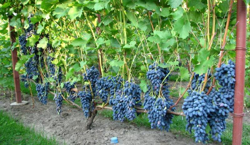 Рассказ о винограднике
