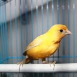 Стоит ли заводить дома певчую птицу?