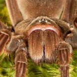 Самый большой паук во всем мире